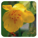 Flores de Bach 10ml. Mimulus  -Ainsworth