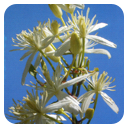 Flores de Bach 10ml. Clematis -Ainsworth