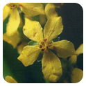 Flores de Bach 10ml. Agrimony -Ainsworth